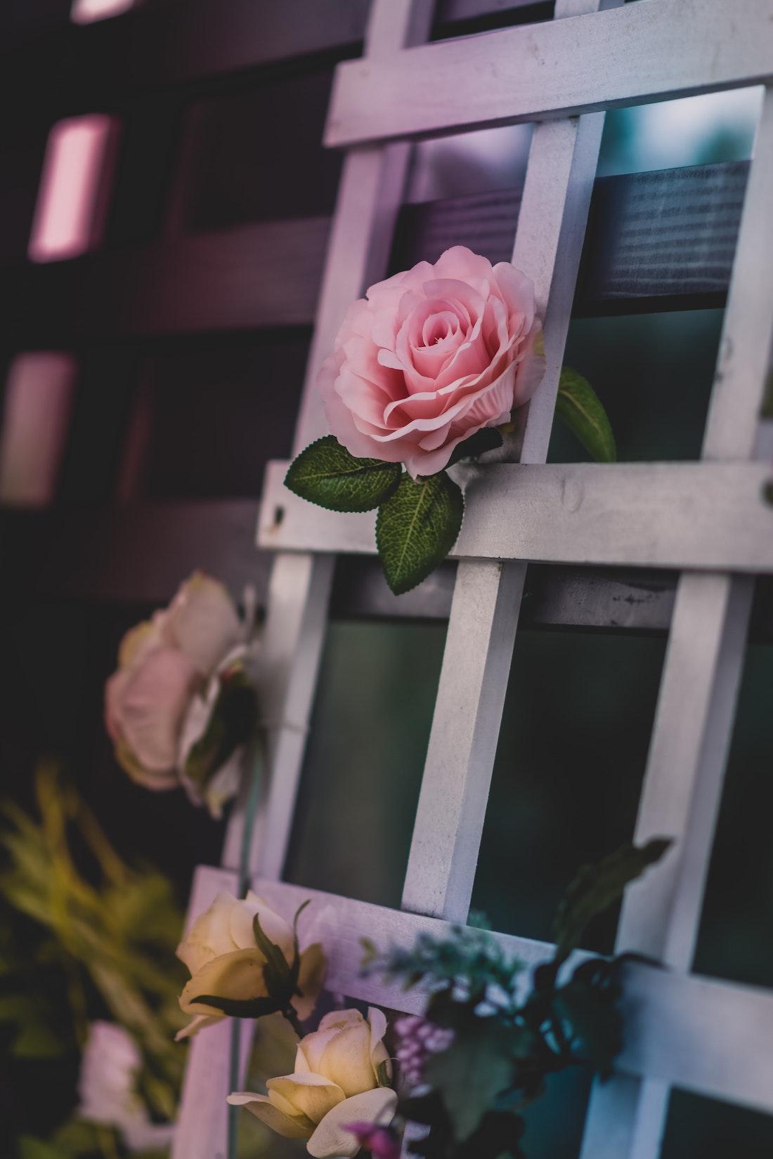 Rose blooming on trellis